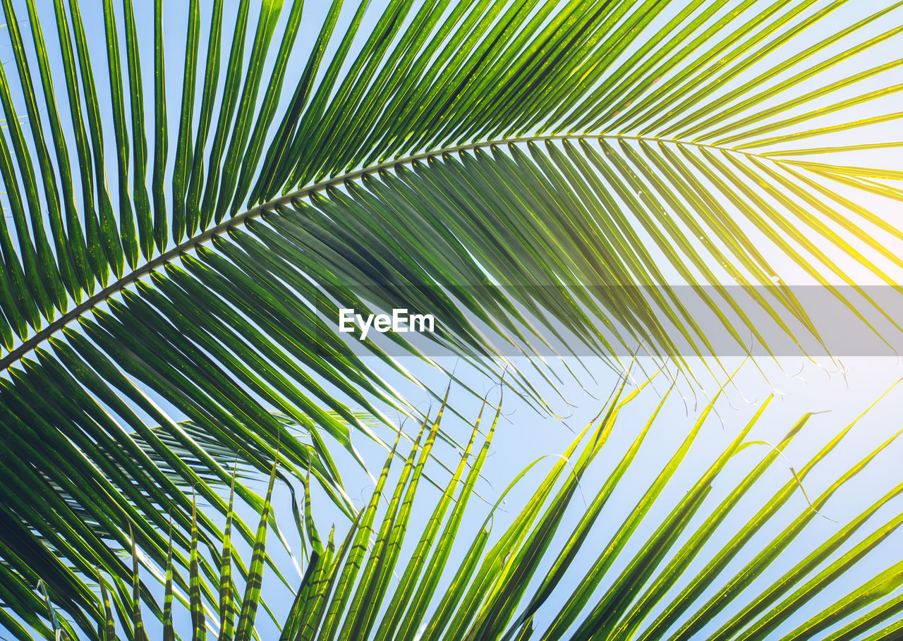 palm tree, palm leaf, leaf, plant part, green color, plant, growth, nature, tropical climate, beauty in nature, tree, frond, backgrounds, no people, sunlight, day, natural pattern, close-up, sky, full frame, outdoors, leaves, coconut palm tree