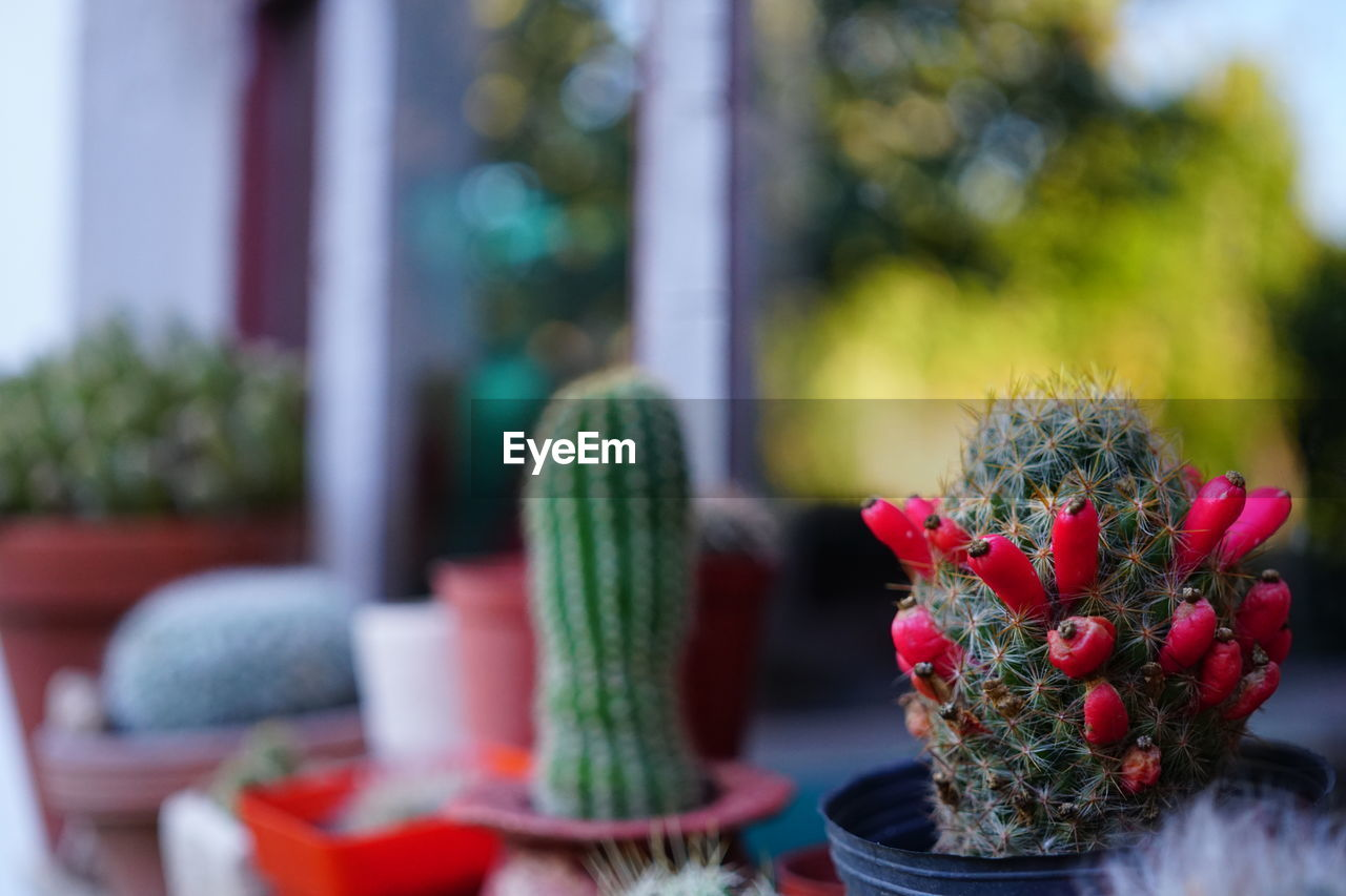 plant, flower, flowering plant, selective focus, no people, red, freshness, potted plant, close-up, day, focus on foreground, nature, growth, beauty in nature, vulnerability, decoration, fragility, green color, cactus, table, flower arrangement, flower pot, bouquet