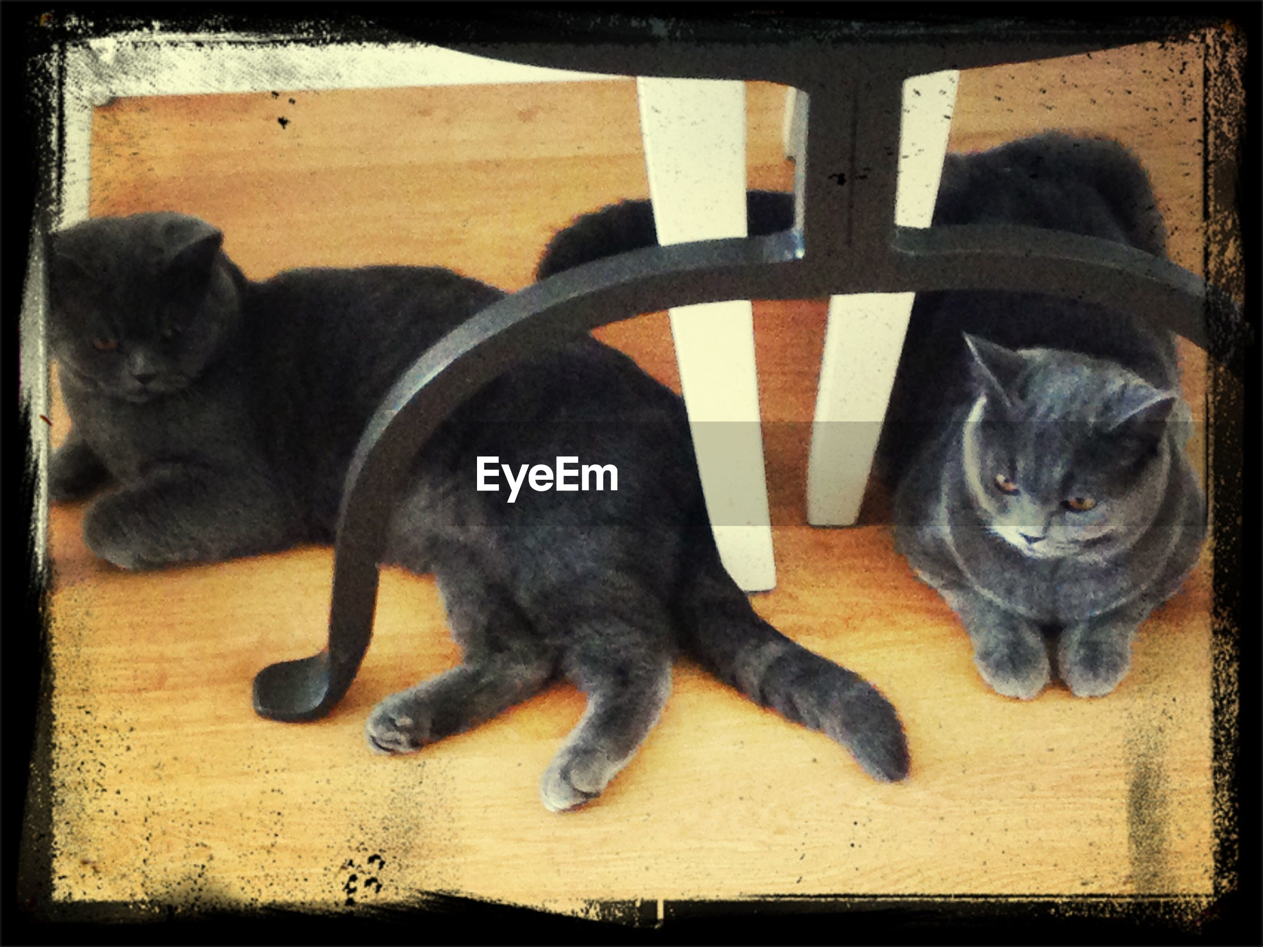 domestic animals, animal themes, pets, mammal, one animal, domestic cat, cat, feline, transfer print, indoors, portrait, auto post production filter, looking at camera, relaxation, two animals, lying down, animal head, black color, whisker, close-up