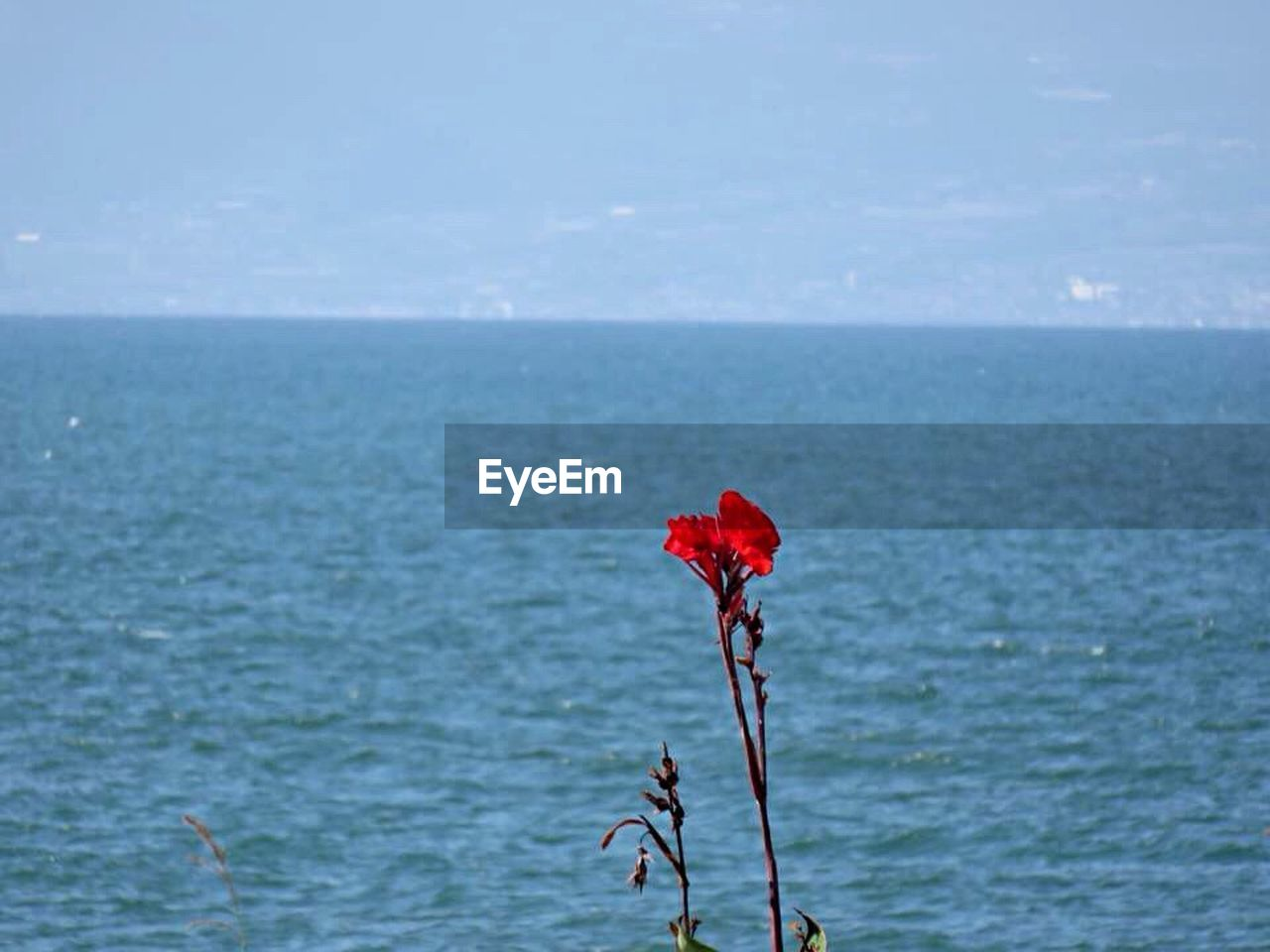 sea, nature, beauty in nature, water, red, flower, horizon over water, scenics, tranquility, outdoors, day, tranquil scene, no people, growth, plant, fragility, sky, close-up, freshness, flower head