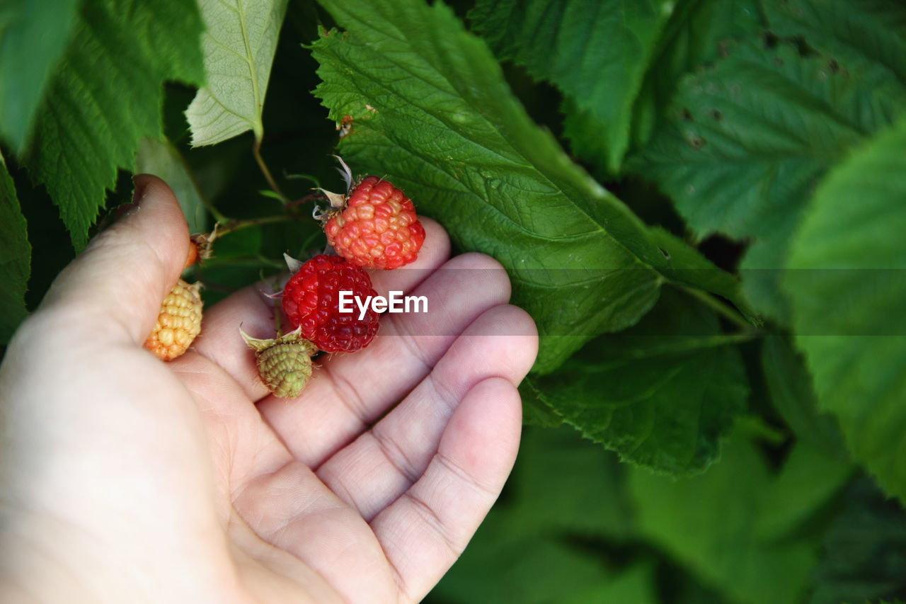 Cropped Image Of Hand Holding Raspberry On Plant In Yard