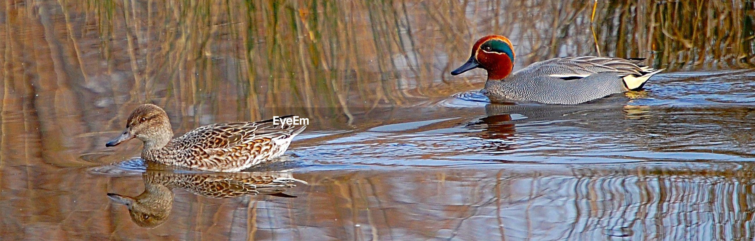 animal themes, animals in the wild, bird, wildlife, water, lake, swimming, waterfront, duck, one animal, rippled, reflection, nature, beak, water bird, outdoors, no people, two animals, day, swan