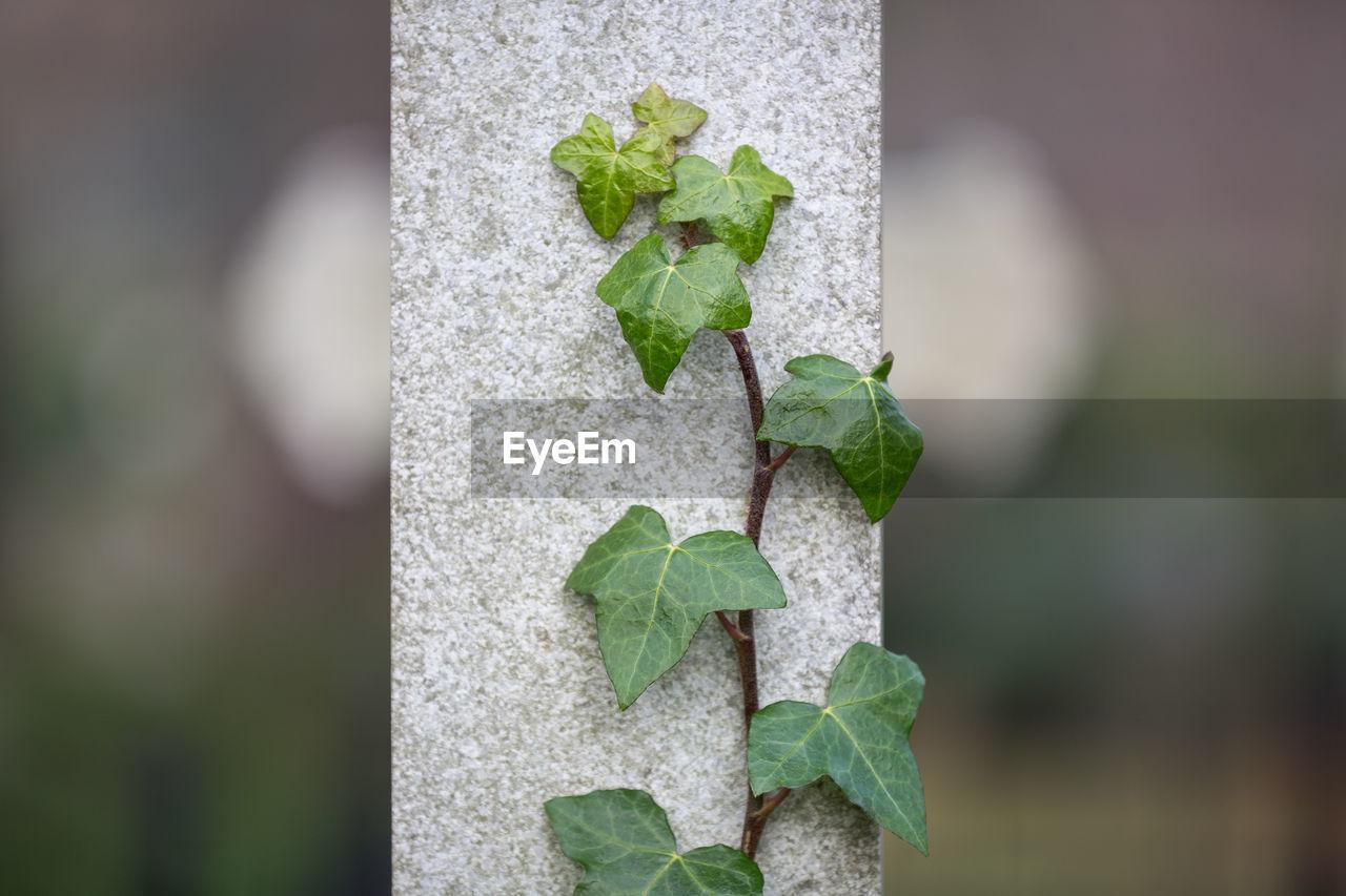 Close-up of creeper plant against column