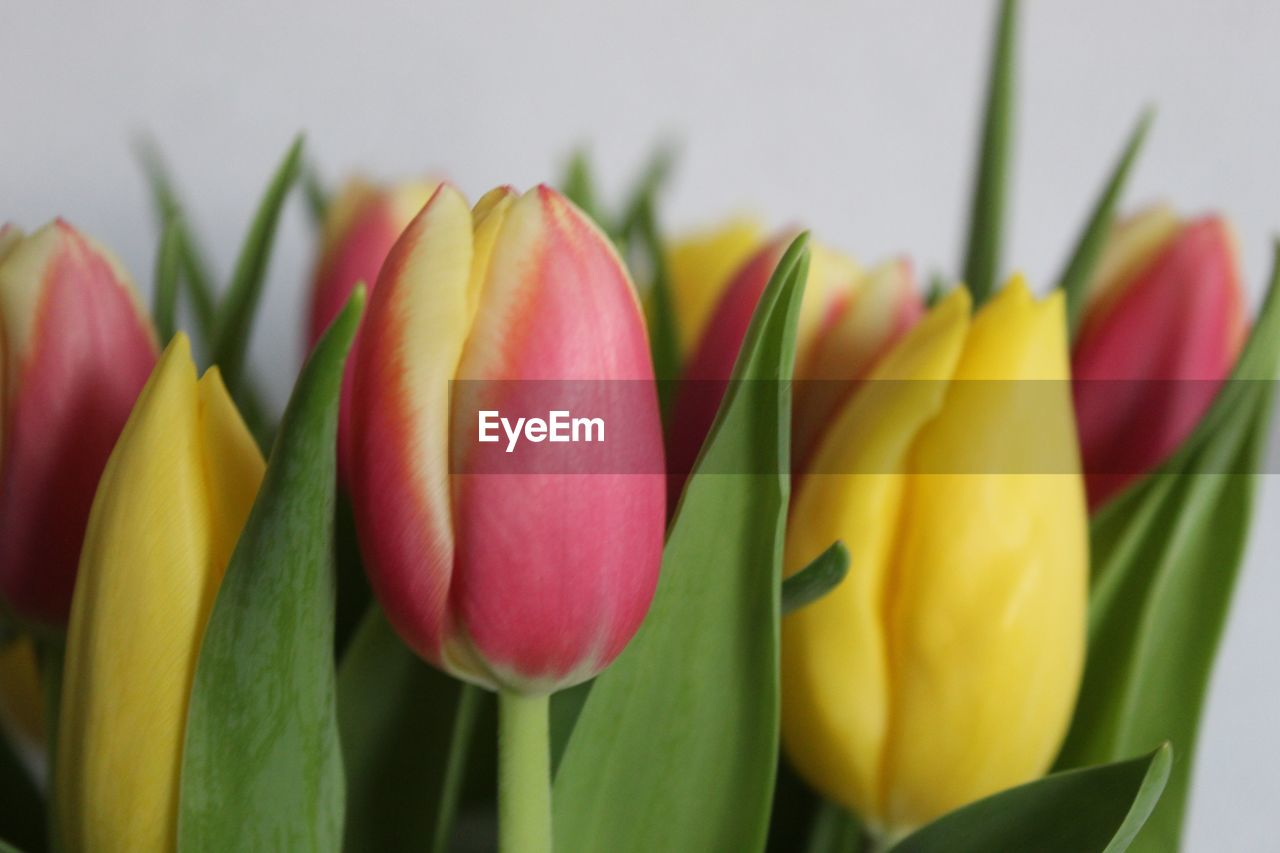freshness, flowering plant, flower, close-up, plant, petal, beauty in nature, flower head, inflorescence, tulip, vulnerability, yellow, fragility, no people, indoors, multi colored, nature, plant part, leaf, growth, flower arrangement, bouquet, bunch of flowers