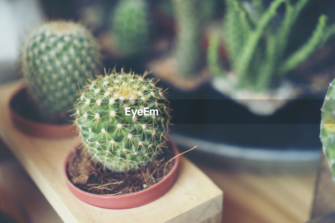 cactus, succulent plant, potted plant, thorn, close-up, no people, growth, focus on foreground, spiked, green color, plant, high angle view, barrel cactus, sharp, nature, day, table, beauty in nature, sign, warning sign, outdoors, flower pot, houseplant