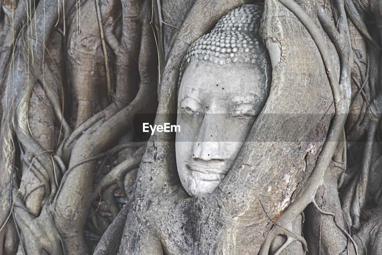 Stone Buddha Head Entwined In Roots Of Fig Tree