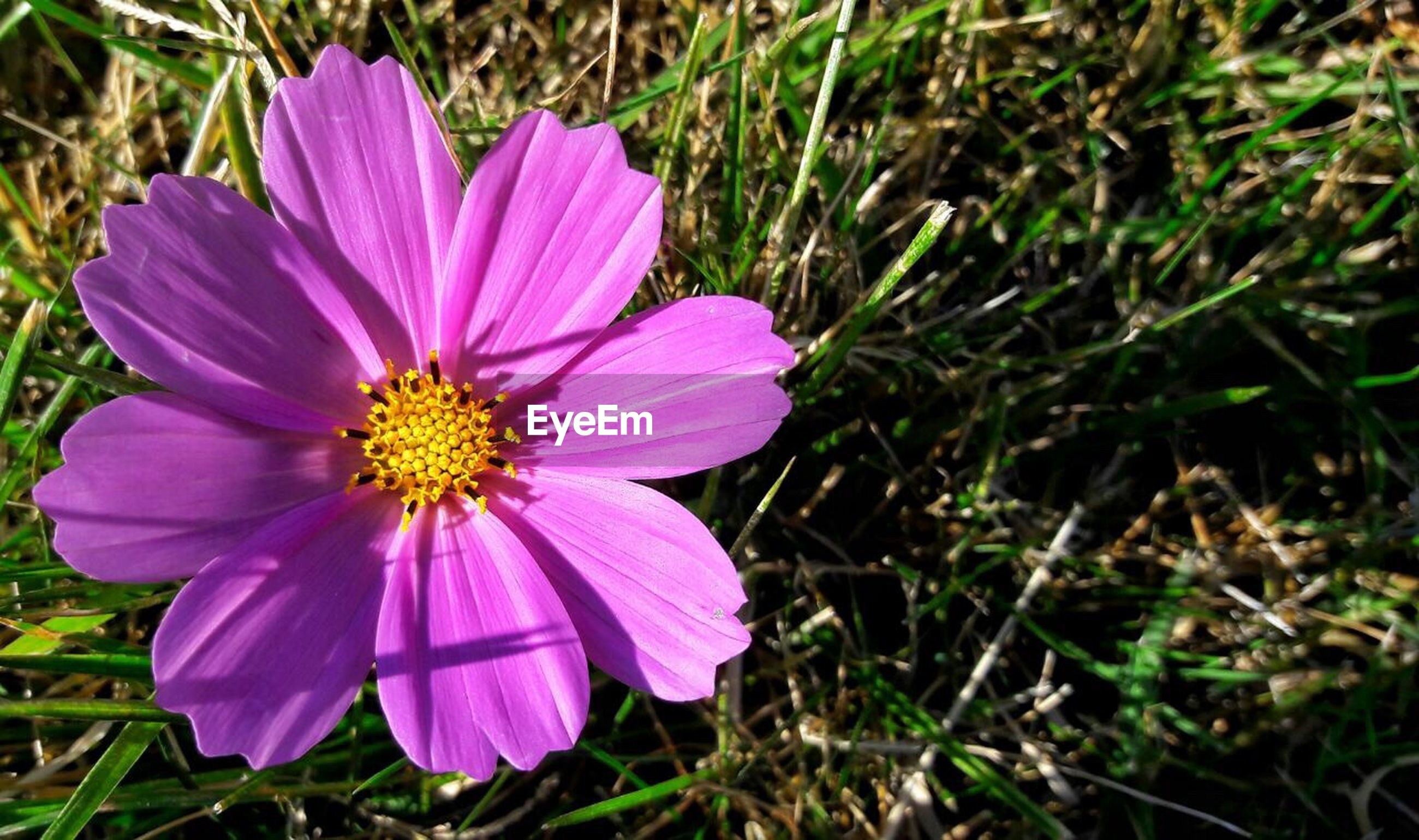 freshness, flower, petal, flower head, fragility, growth, close-up, purple, beauty in nature, single flower, nature, in bloom, springtime, season, blossom, selective focus, plant, stamen, pollen, daisy, blooming, botany, pink color, focus on foreground, green color, pink, field, day, vibrant color, outdoors, bloom, tranquility