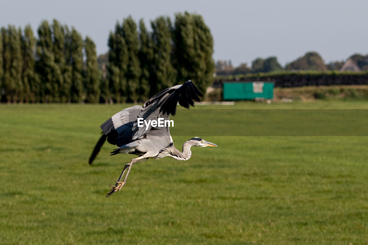 Bird Flying Over Field