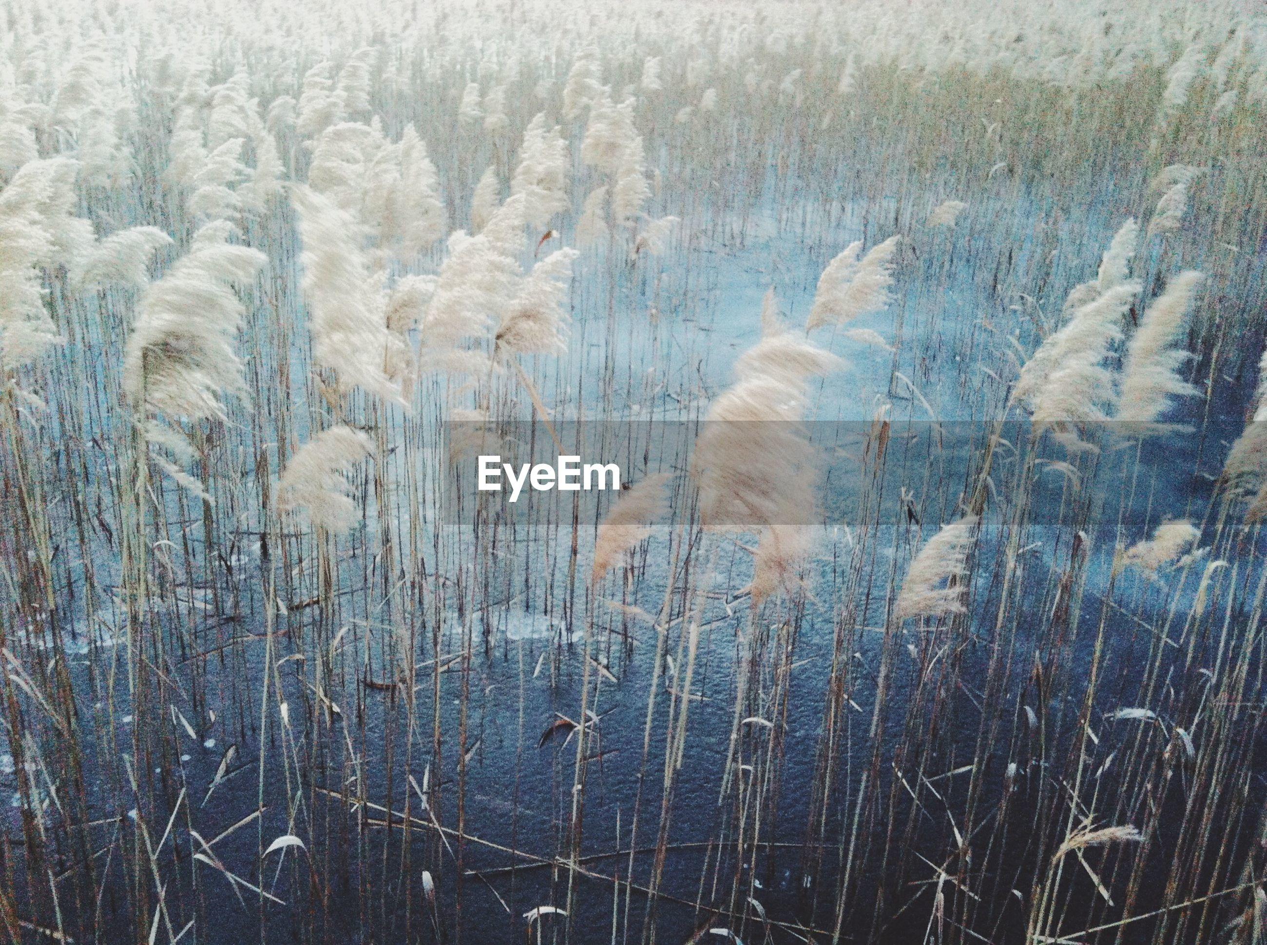 Reeds grass in pond
