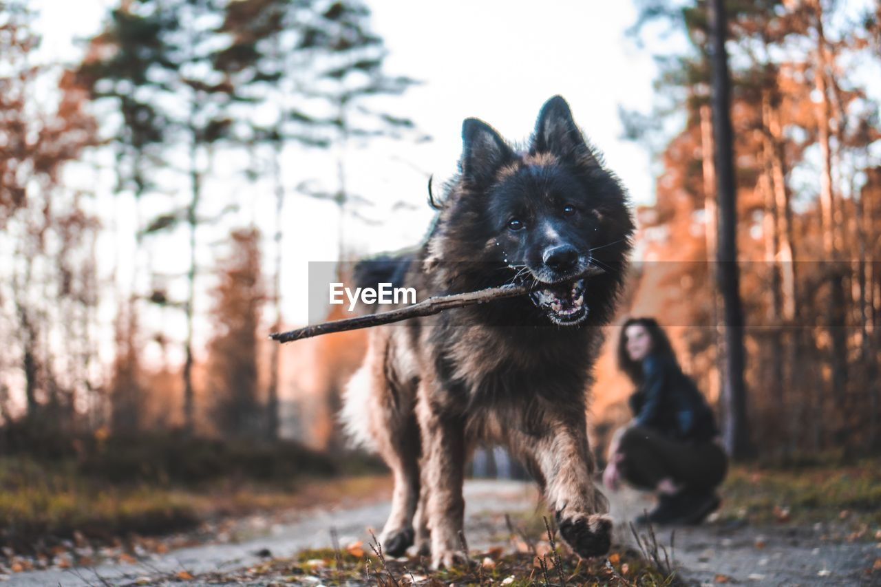 mammal, one animal, animal, animal themes, dog, canine, pets, domestic, vertebrate, domestic animals, tree, land, nature, focus on foreground, plant, day, portrait, looking at camera, forest, field, outdoors