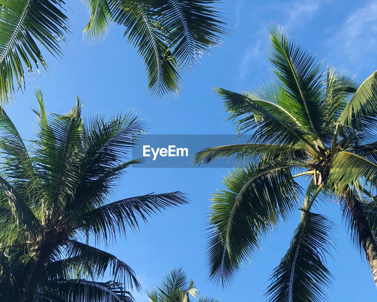 tree, palm tree, tropical climate, plant, sky, growth, beauty in nature, palm leaf, nature, leaf, no people, low angle view, tranquility, blue, coconut palm tree, green color, day, tropical tree, outdoors, tree trunk, directly below