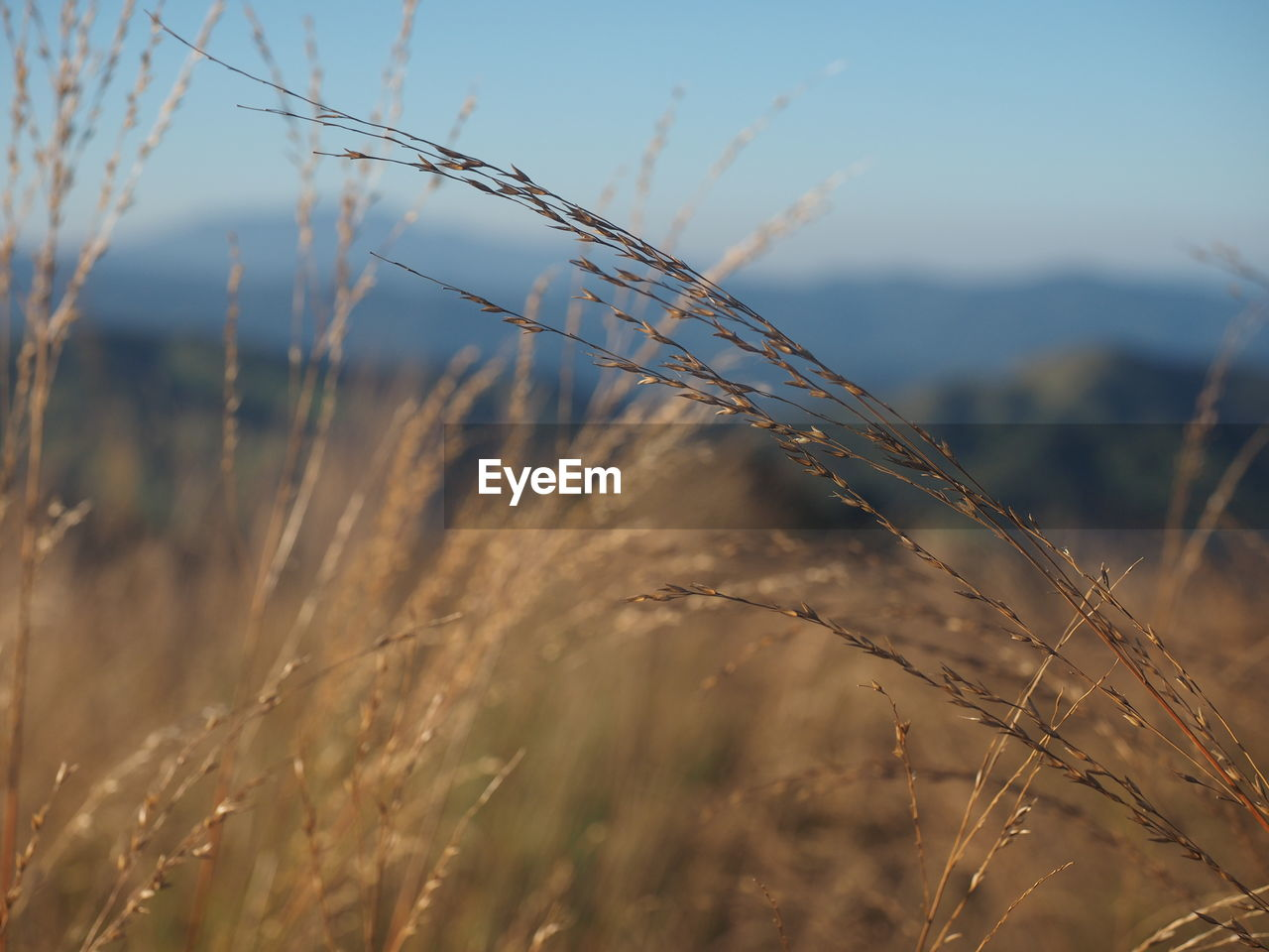plant, growth, crop, field, nature, focus on foreground, land, cereal plant, agriculture, beauty in nature, tranquility, close-up, no people, day, wheat, landscape, sky, farm, sunlight, outdoors, timothy grass, stalk