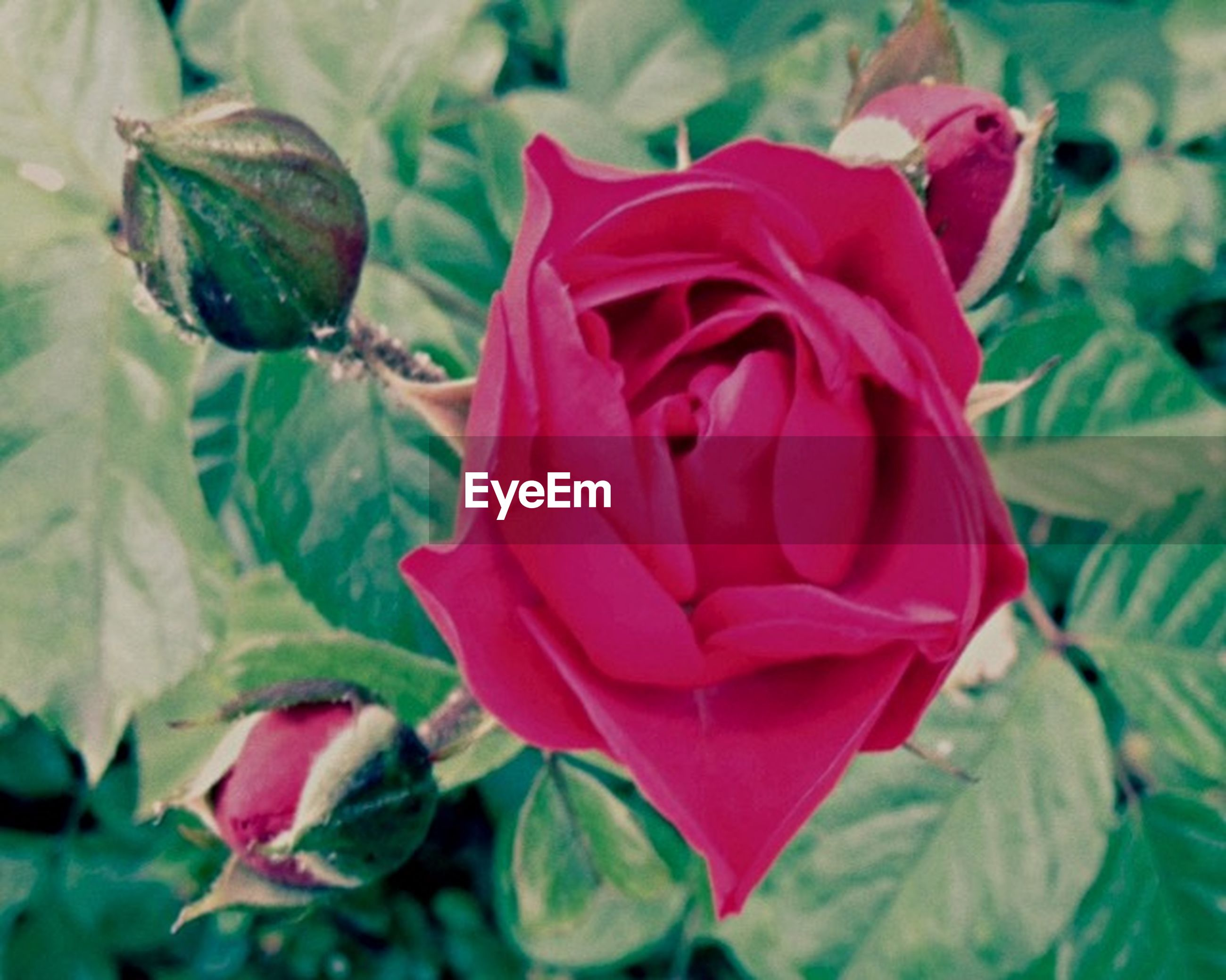 flower, petal, freshness, flower head, fragility, close-up, rose - flower, beauty in nature, growth, leaf, focus on foreground, plant, red, blooming, nature, single flower, pink color, rose, day, no people