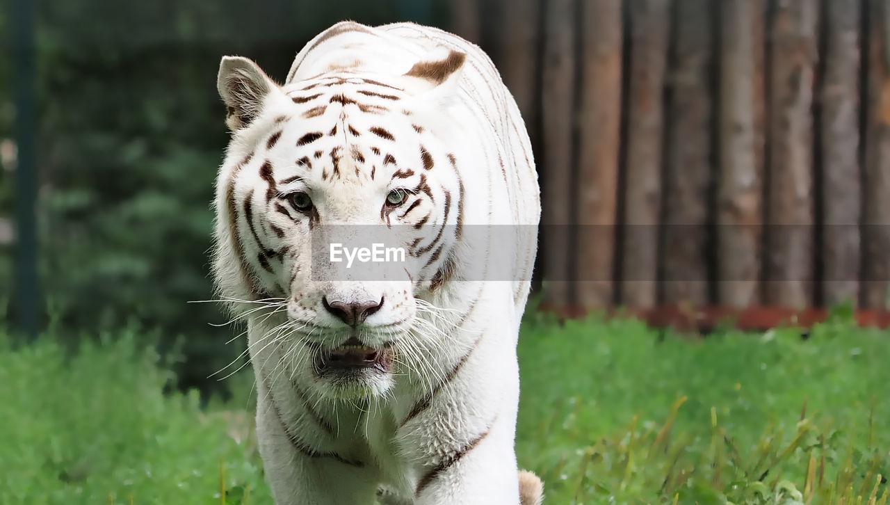 Portrait Of White Bengal Tiger