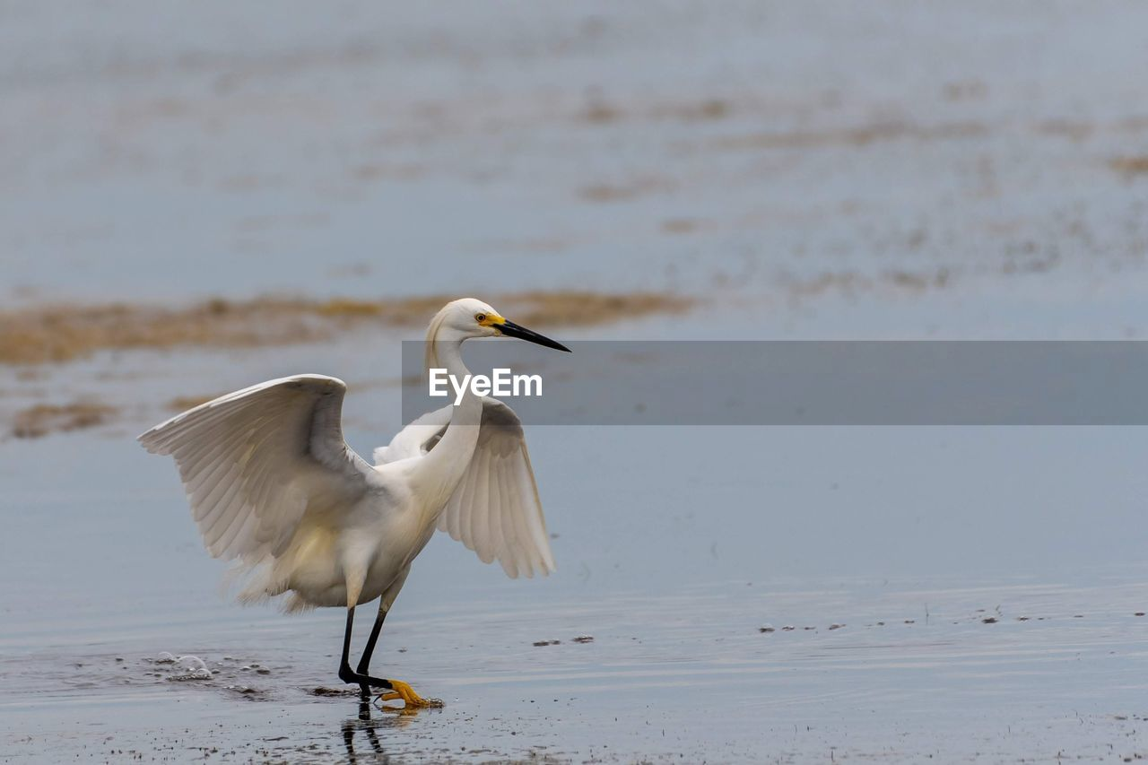 animal themes, animal, bird, animals in the wild, vertebrate, animal wildlife, water, beach, one animal, land, focus on foreground, nature, no people, sea, day, sand, water bird, beauty in nature, white color