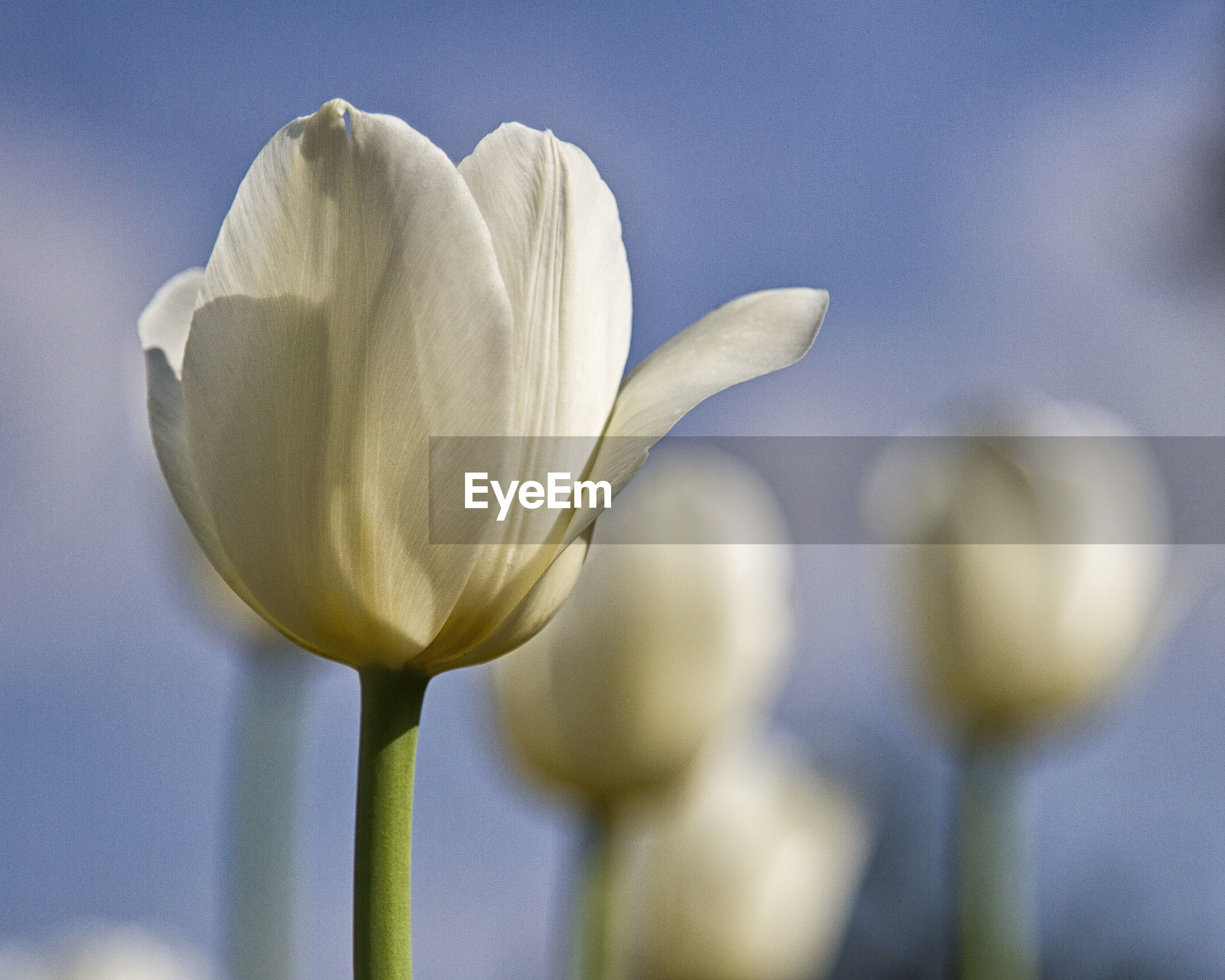 CLOSE-UP OF WHITE ROSE FLOWER AGAINST SKY