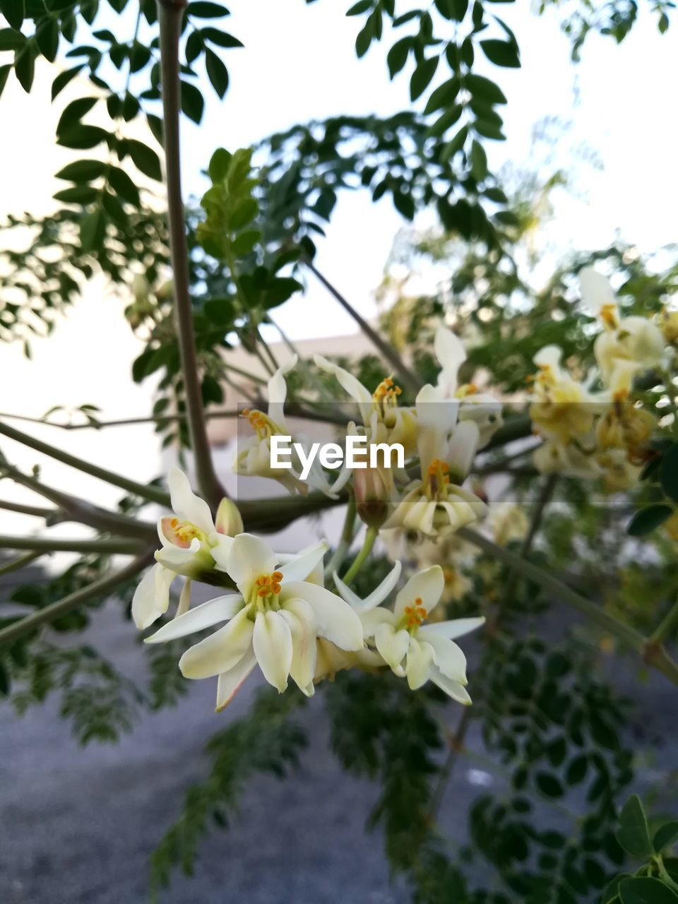 flower, growth, fragility, beauty in nature, nature, petal, freshness, white color, blossom, tree, day, no people, plant, outdoors, flower head, close-up, springtime, blooming, yellow, branch