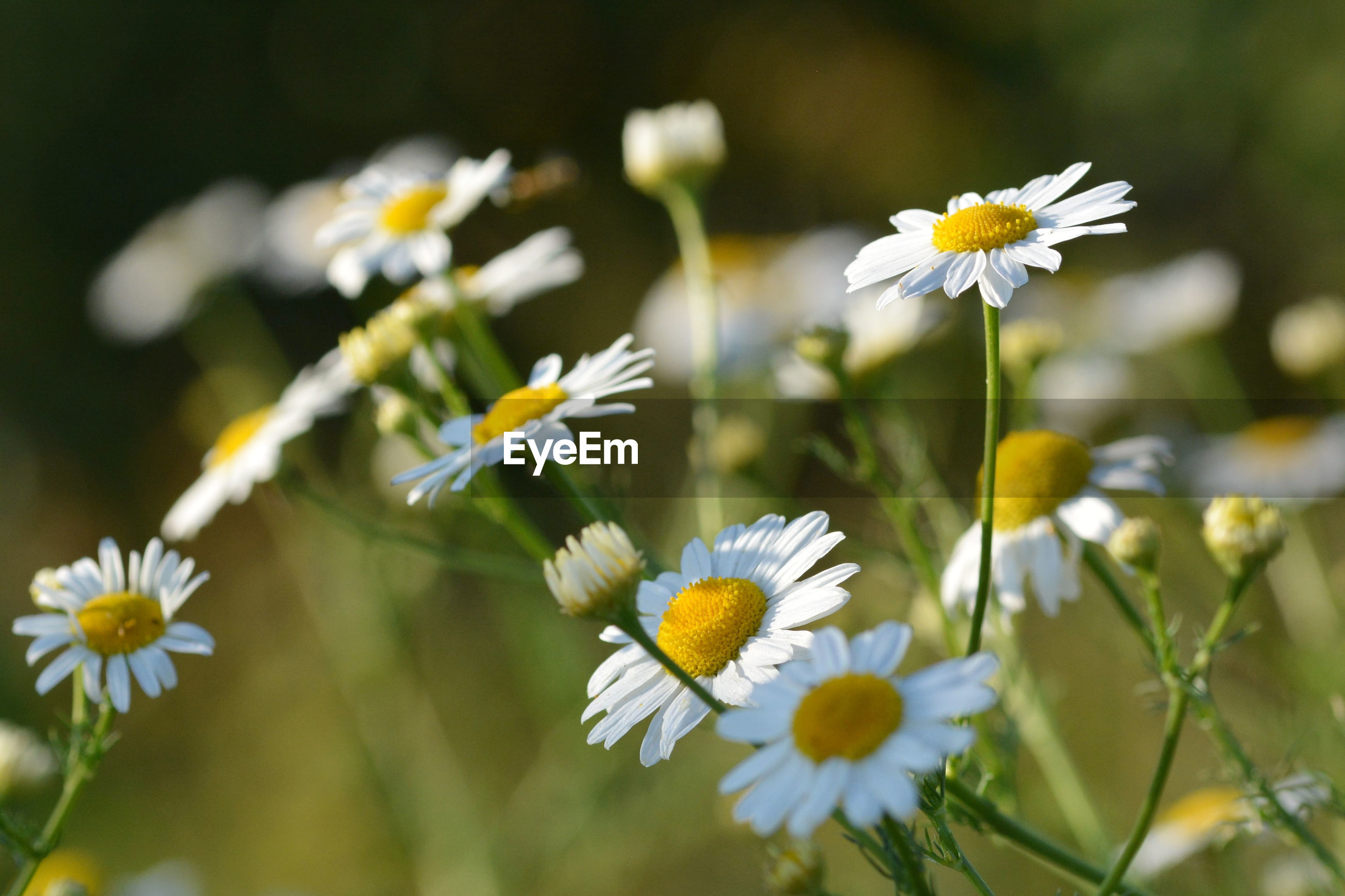 CLOSE-UP OF DAISY FLOWERS