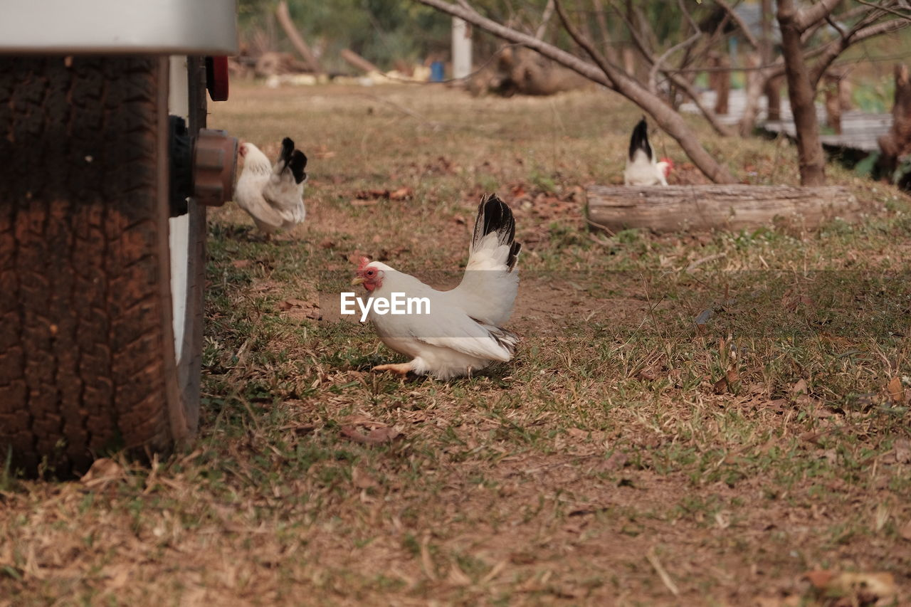 animal themes, animal, domestic, group of animals, pets, mammal, domestic animals, vertebrate, land, two animals, field, nature, day, livestock, plant, no people, bird, young animal, selective focus, canine, outdoors, animal family