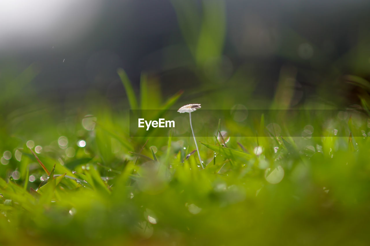 plant, growth, selective focus, beauty in nature, vulnerability, fragility, freshness, green color, nature, grass, field, flower, land, close-up, no people, flowering plant, drop, day, tranquility, white color, outdoors, blade of grass, dew, small, purity