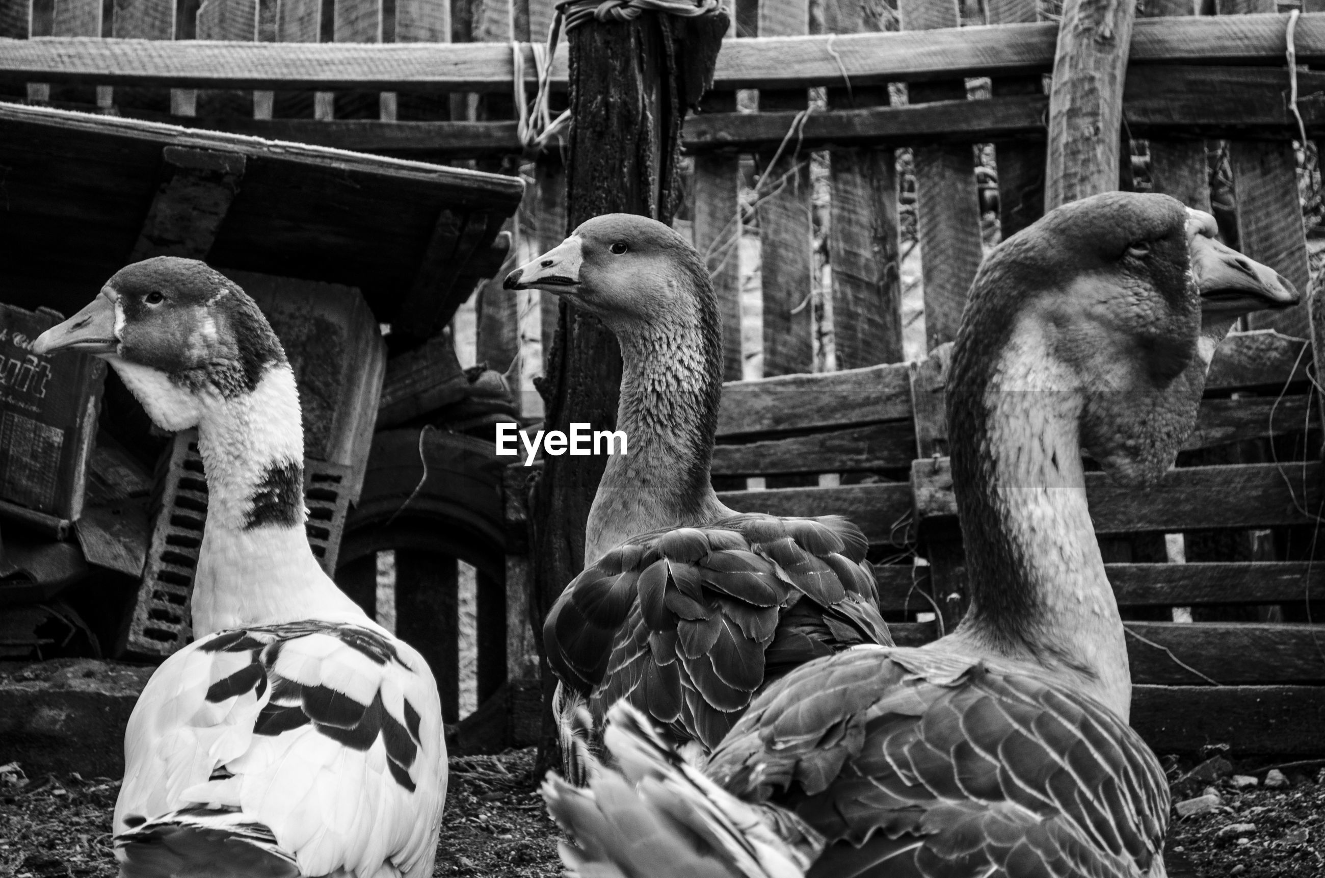 Close-up of geese looking away