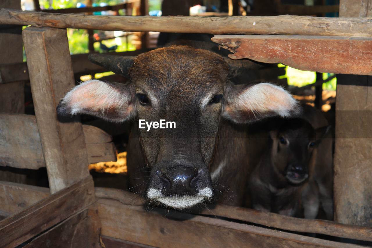 animal themes, mammal, animal, livestock, vertebrate, domestic animals, group of animals, pets, domestic, portrait, boundary, looking at camera, barrier, fence, no people, wood - material, day, animal body part, close-up, outdoors, animal head, herbivorous, animal pen