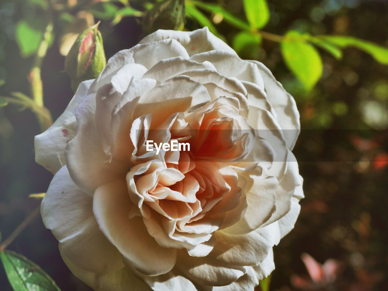 flower, petal, nature, beauty in nature, fragility, growth, flower head, rose - flower, freshness, plant, close-up, focus on foreground, no people, outdoors, day, blooming