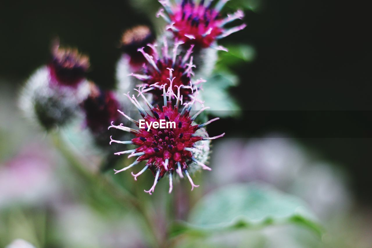 flowering plant, flower, freshness, vulnerability, fragility, plant, beauty in nature, growth, flower head, petal, close-up, inflorescence, selective focus, nature, purple, no people, day, focus on foreground, pink color, outdoors, pollen