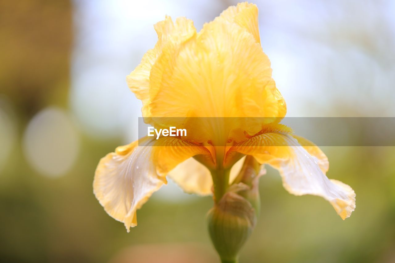 vulnerability, flowering plant, fragility, flower, petal, plant, beauty in nature, inflorescence, freshness, close-up, flower head, growth, yellow, focus on foreground, no people, nature, selective focus, day, outdoors, pollen, iris - plant, soft focus
