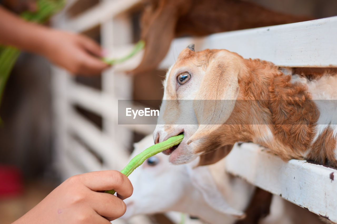 domestic animals, one animal, mammal, real people, animal themes, domestic, animal, pets, human hand, canine, dog, one person, food, holding, eating, vertebrate, hand, focus on foreground, feeding, brown, finger, care, animal head