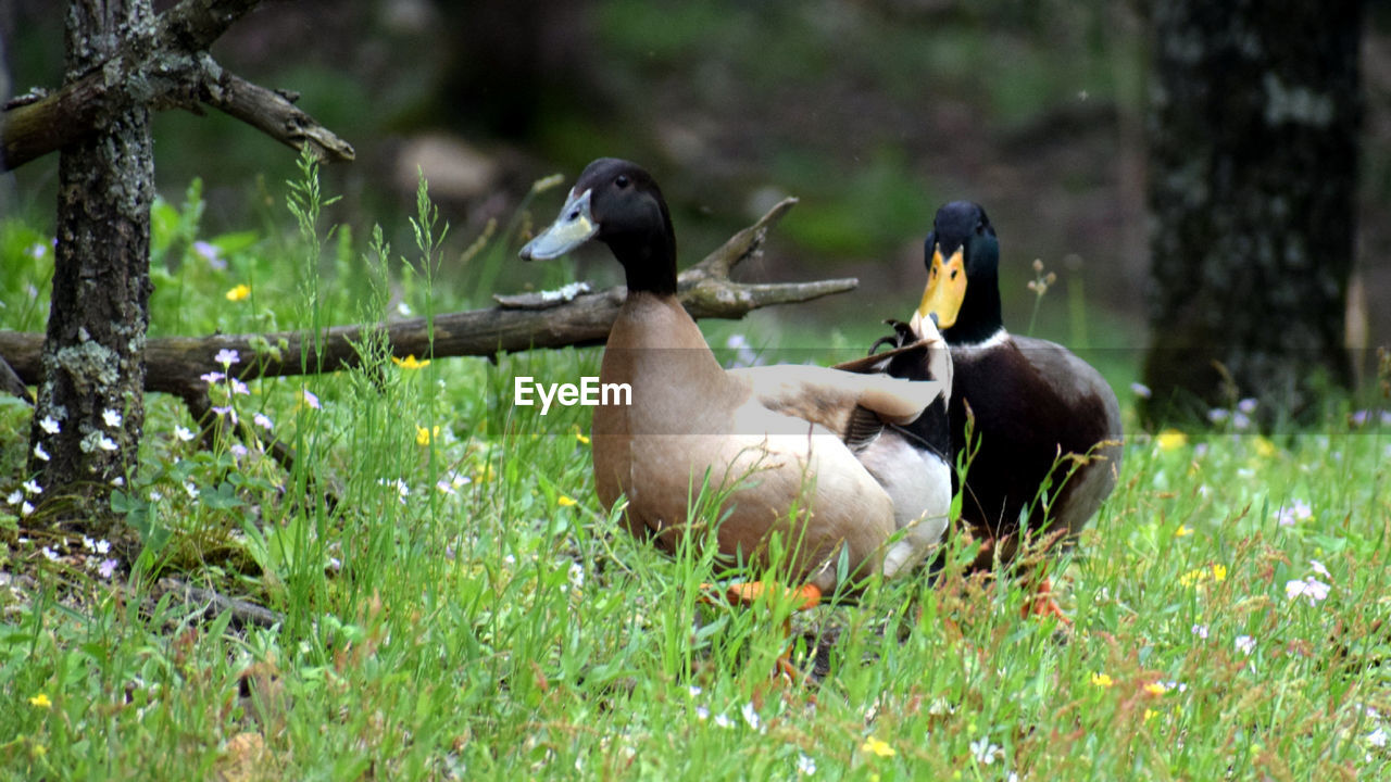animal themes, animal, vertebrate, animals in the wild, animal wildlife, group of animals, bird, plant, grass, land, nature, day, no people, green color, field, tree, selective focus, duck, outdoors, two animals, animal family