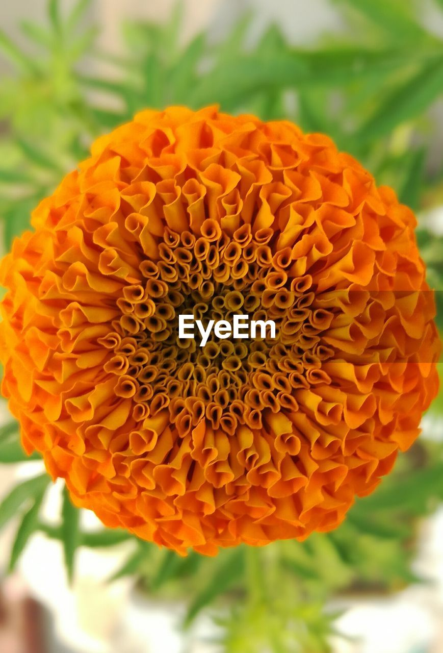 flower, freshness, petal, flower head, orange color, beauty in nature, focus on foreground, fragility, nature, growth, close-up, day, plant, outdoors, blooming, marigold, no people