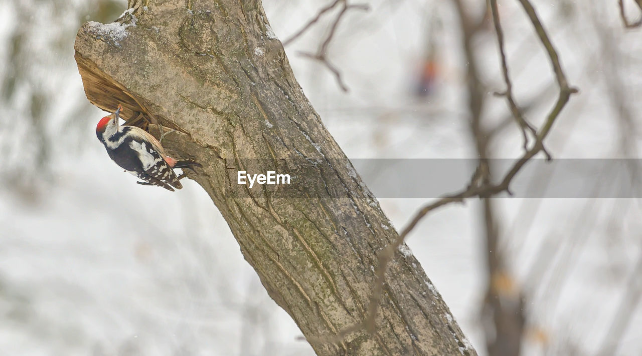 Close-up of woodpecker perching on bare tree