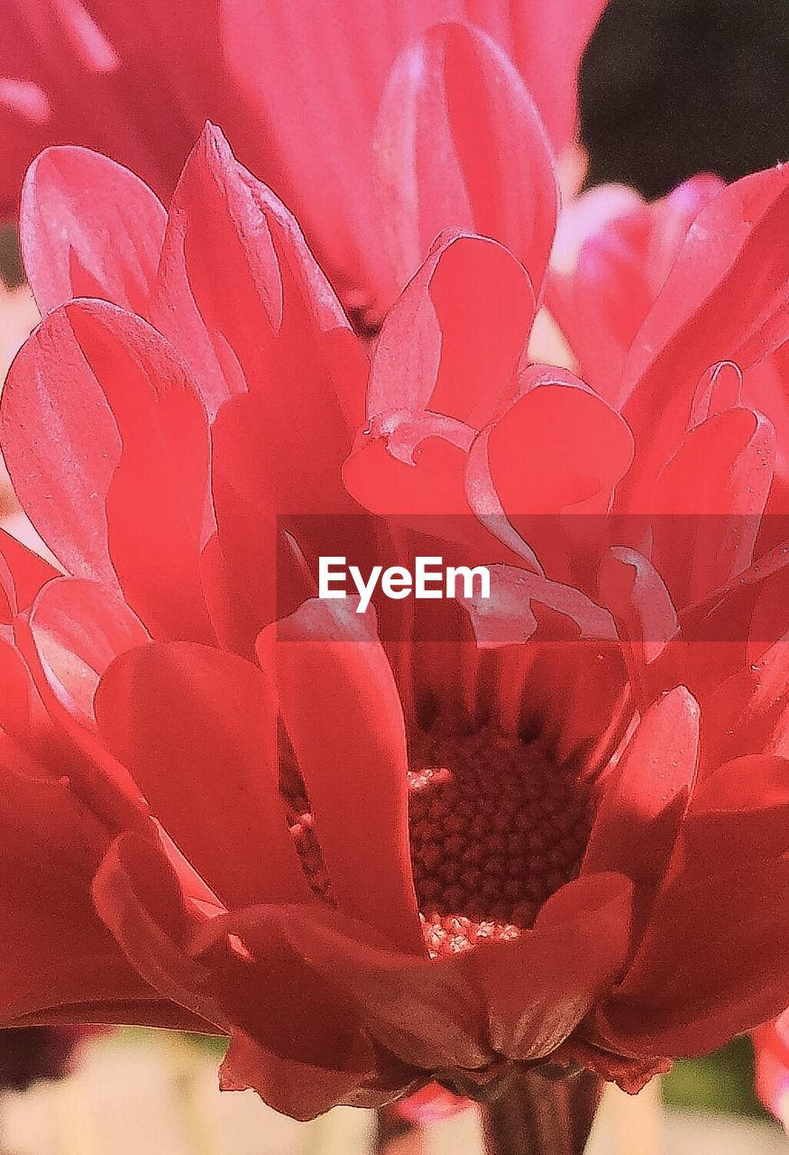 flower, petal, nature, beauty in nature, fragility, flower head, growth, red, freshness, plant, close-up, rose - flower, no people, day, blooming, outdoors, pink color