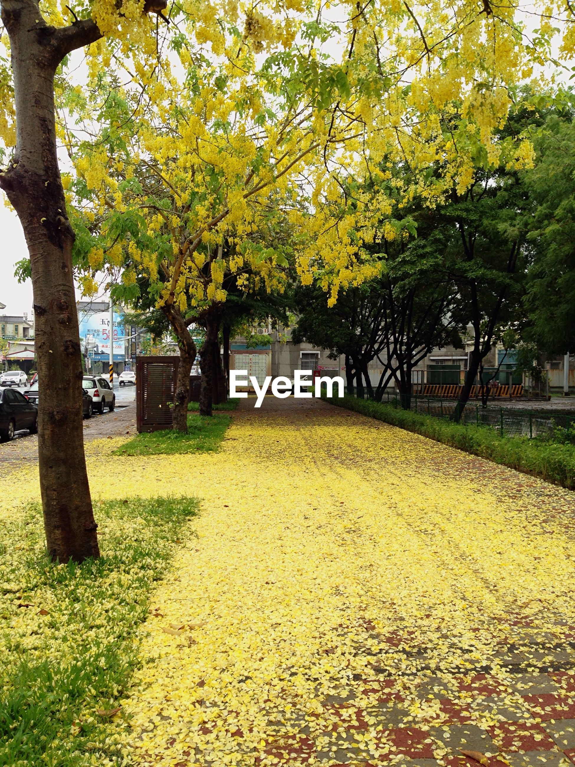 Sidewalk covered with fallen yellow flowers