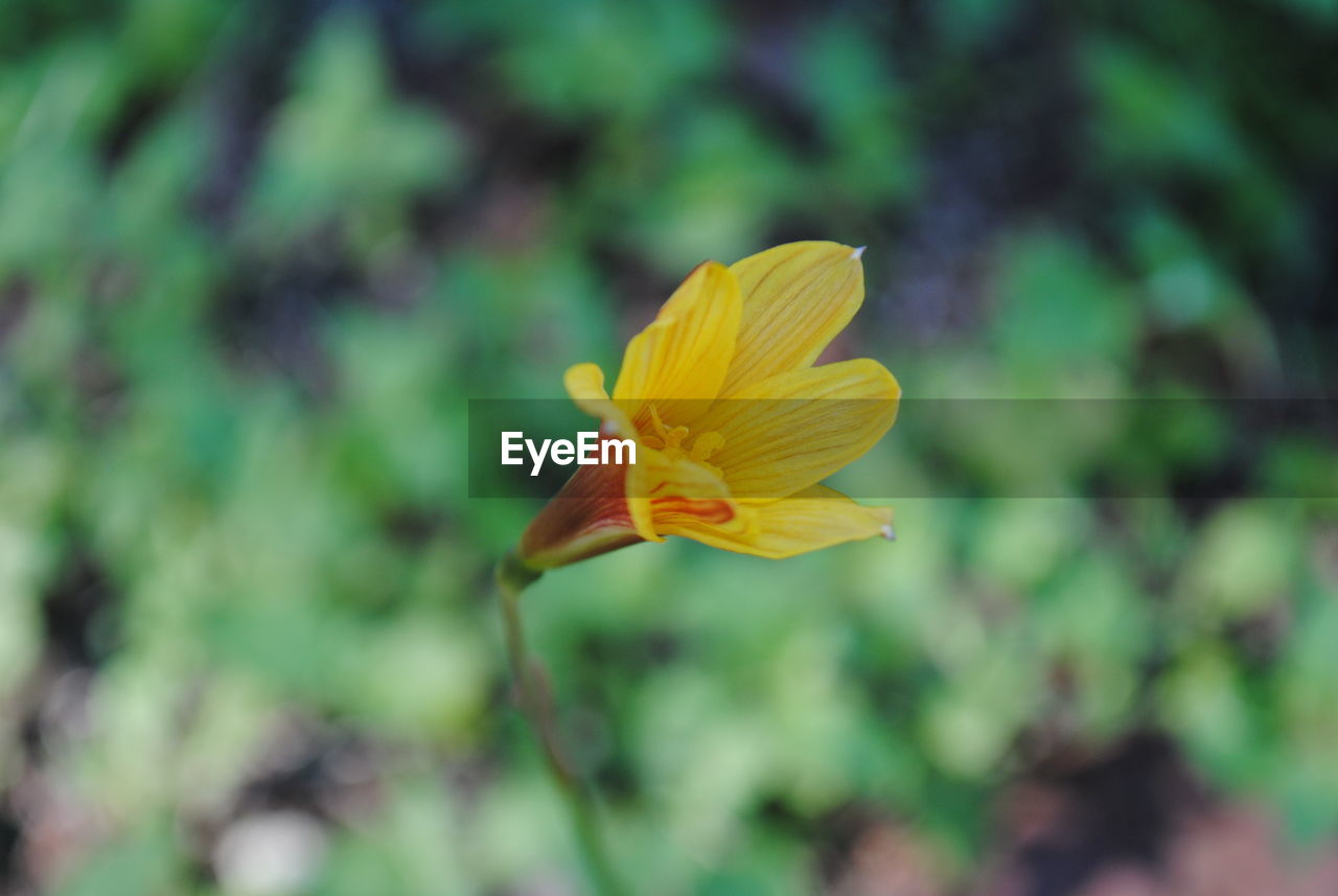 flower, petal, yellow, fragility, flower head, nature, growth, beauty in nature, freshness, blooming, focus on foreground, day, no people, outdoors, plant, close-up