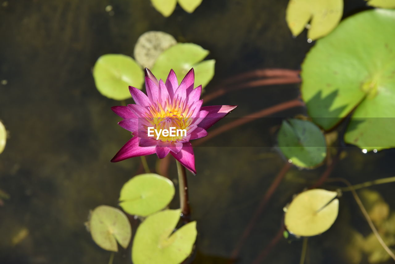 flowering plant, flower, beauty in nature, fragility, freshness, vulnerability, plant, petal, growth, flower head, pink color, close-up, inflorescence, leaf, water lily, plant part, nature, pond, no people, pollen, purple, lotus water lily