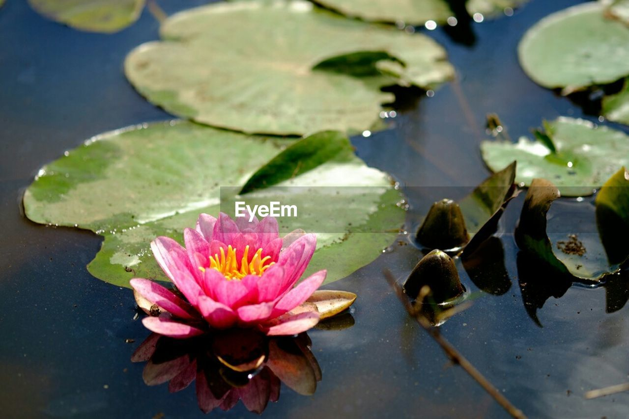 pond, water lily, leaf, lotus water lily, water, floating on water, flower, nature, lily pad, beauty in nature, growth, lotus, no people, plant, petal, high angle view, close-up, freshness, outdoors, day, fragility, flower head