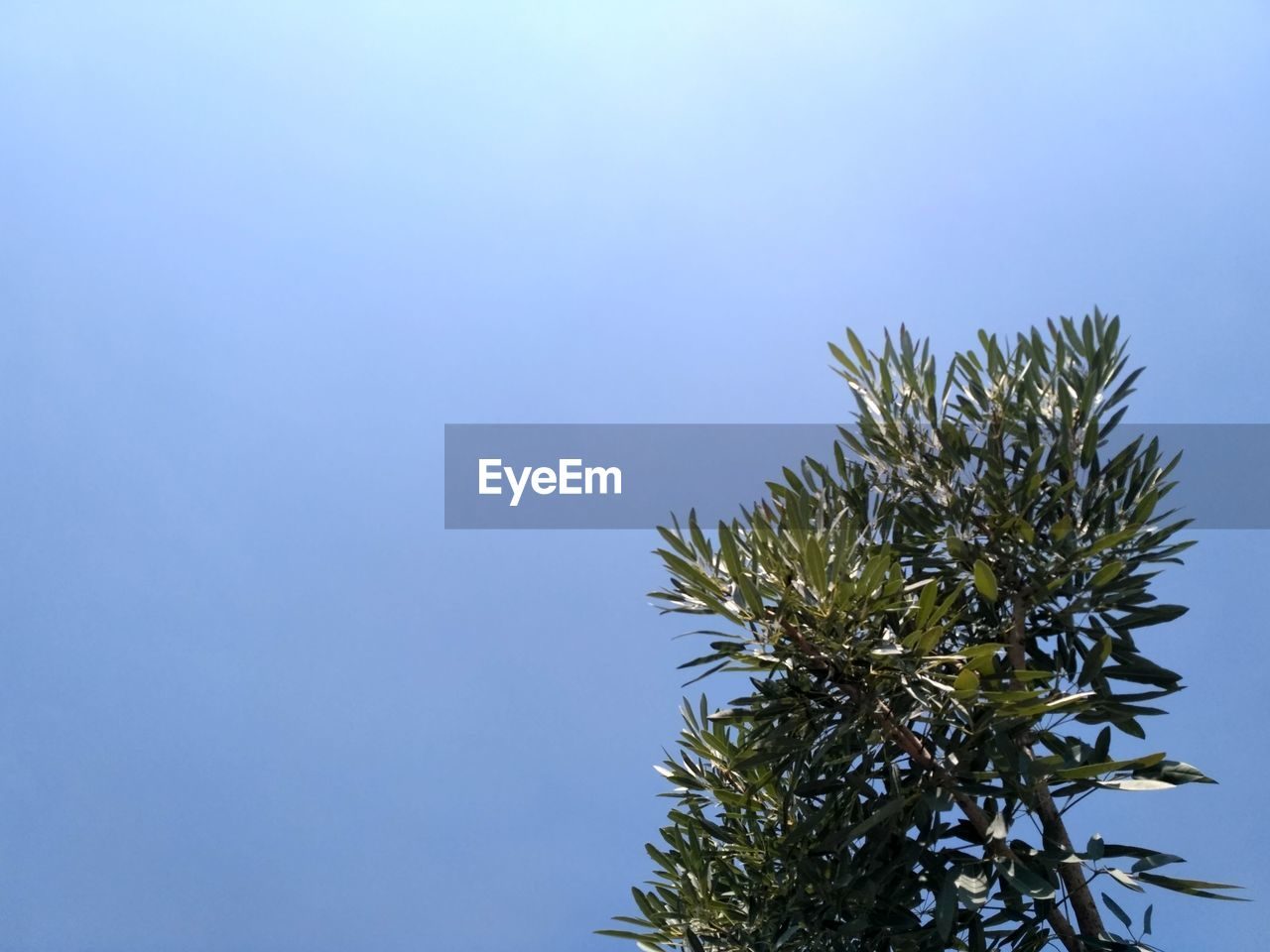 plant, sky, growth, copy space, clear sky, nature, day, beauty in nature, no people, tree, blue, low angle view, tranquility, outdoors, close-up, green color, leaf, sunlight, branch, plant part, coniferous tree, spiky