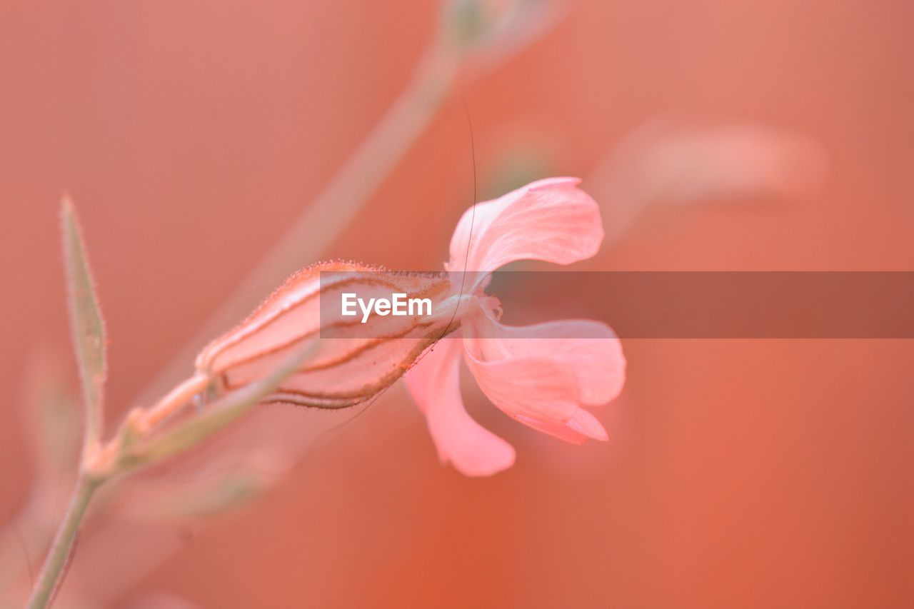 close-up, plant, beauty in nature, flowering plant, fragility, vulnerability, growth, flower, selective focus, nature, freshness, no people, petal, day, pink color, outdoors, focus on foreground, inflorescence, flower head, orange color, pollen