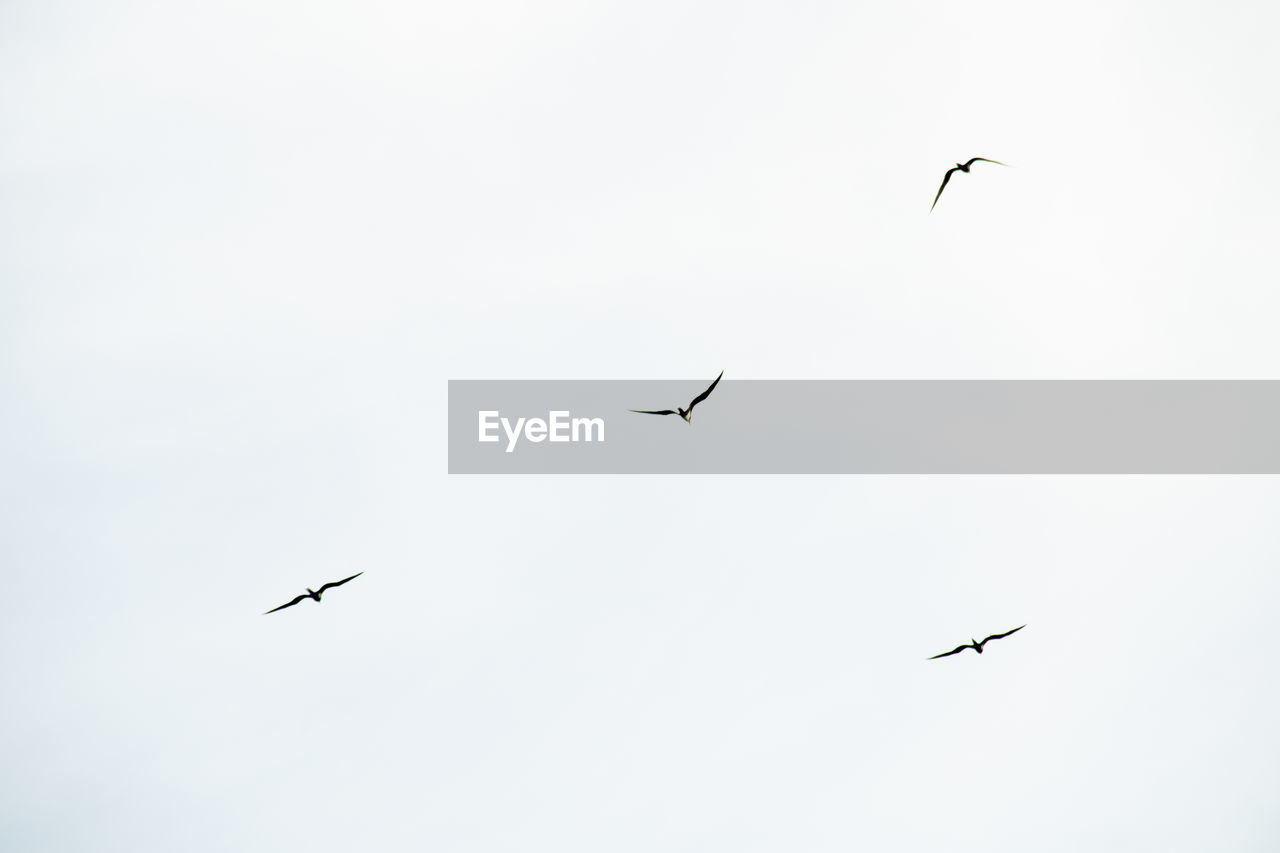 flying, sky, bird, low angle view, vertebrate, animal, animal themes, animal wildlife, group of animals, animals in the wild, mid-air, clear sky, nature, no people, two animals, day, spread wings, motion, outdoors, beauty in nature