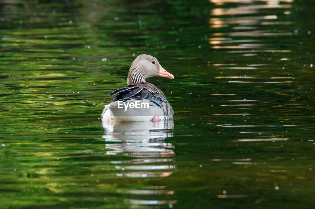 water, animals in the wild, animal wildlife, animal themes, bird, waterfront, lake, swimming, animal, vertebrate, one animal, duck, water bird, no people, day, poultry, nature, reflection, beauty in nature, mandarin duck