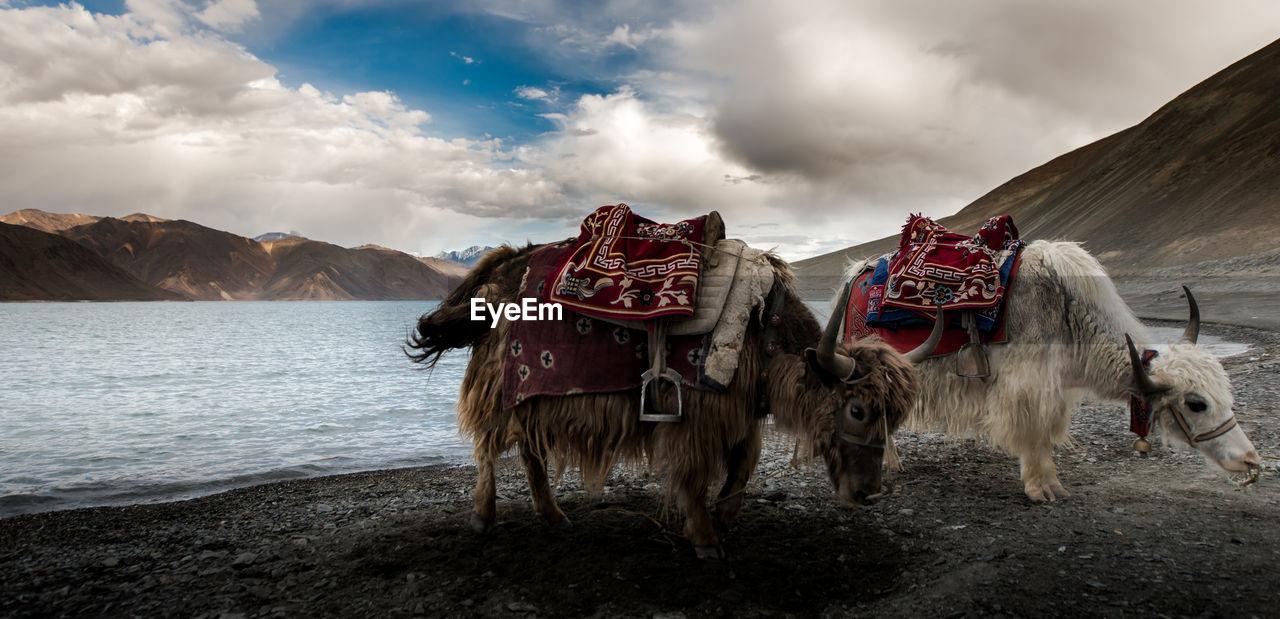 Yaks On Mountain Against Sky