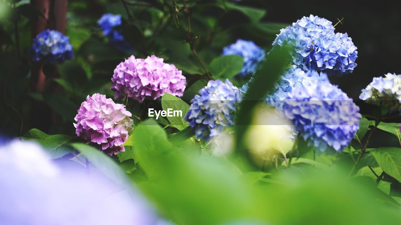 flower, beauty in nature, fragility, growth, nature, freshness, selective focus, plant, purple, petal, no people, flower head, outdoors, day, blooming, leaf, close-up