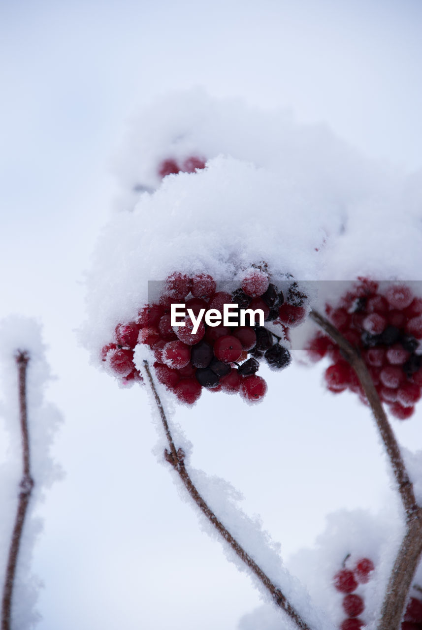winter, cold temperature, snow, fruit, berry fruit, plant, frozen, beauty in nature, healthy eating, no people, nature, red, close-up, white color, covering, tree, day, growth, freshness, ice
