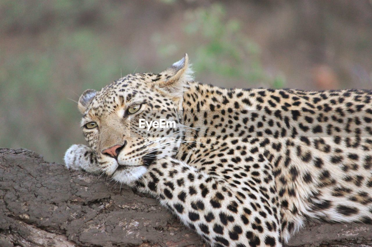Close-Up Of Leopard Relaxing On Branch At Kruger National Park