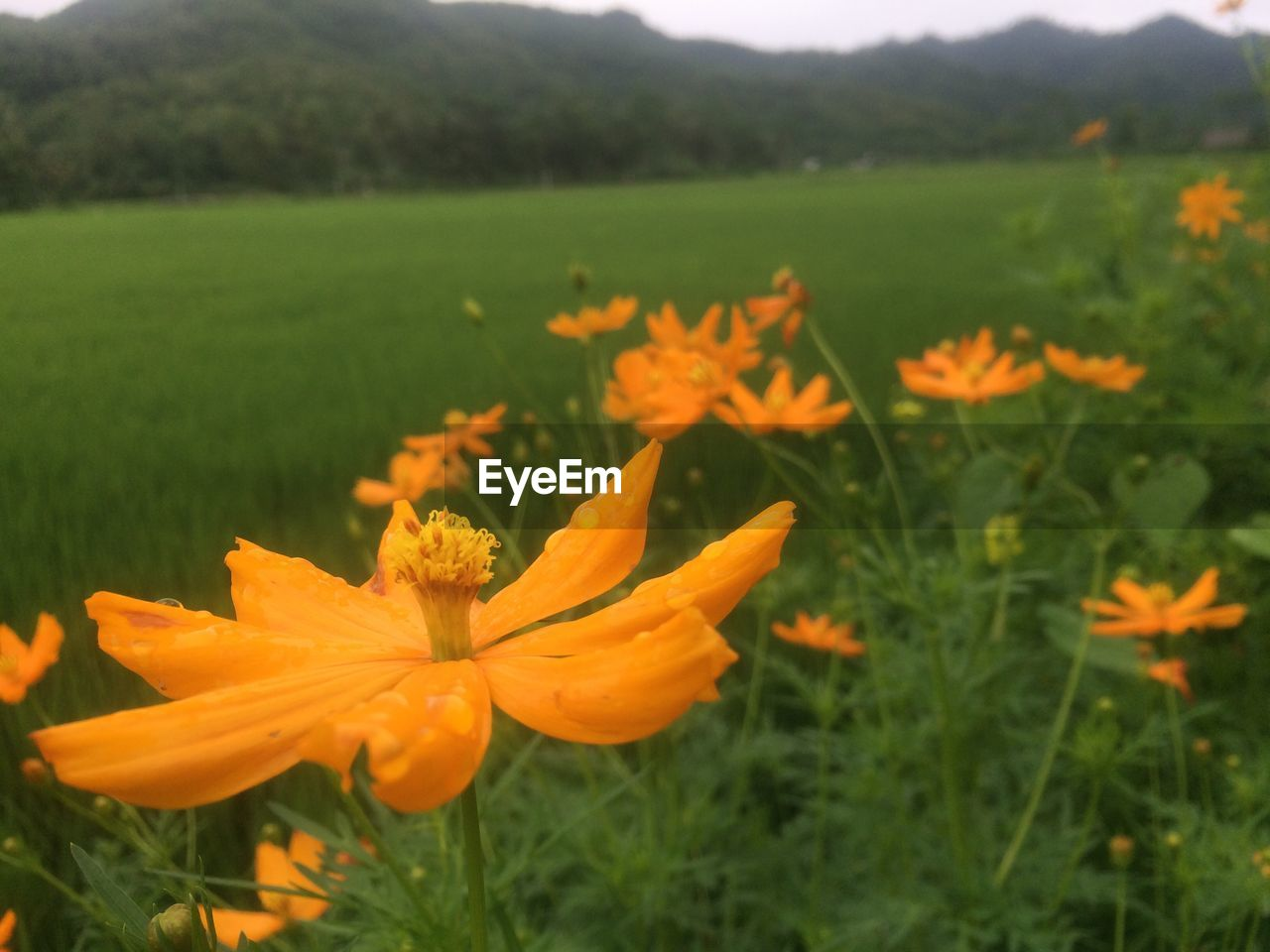 flower, growth, nature, petal, beauty in nature, plant, field, fragility, freshness, blooming, flower head, no people, outdoors, yellow, poppy, day, close-up