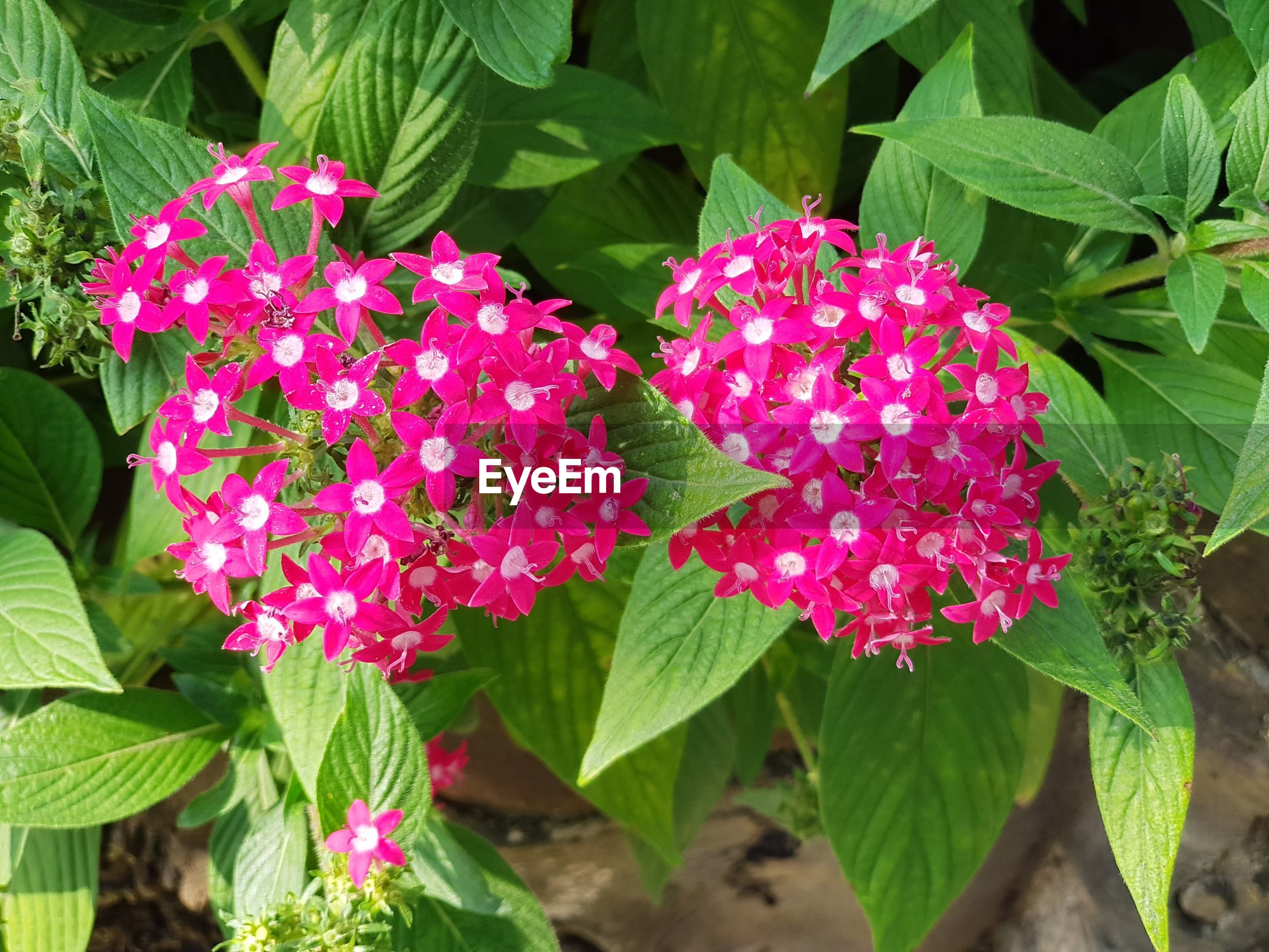 CLOSE-UP OF PINK FLOWER PLANTS