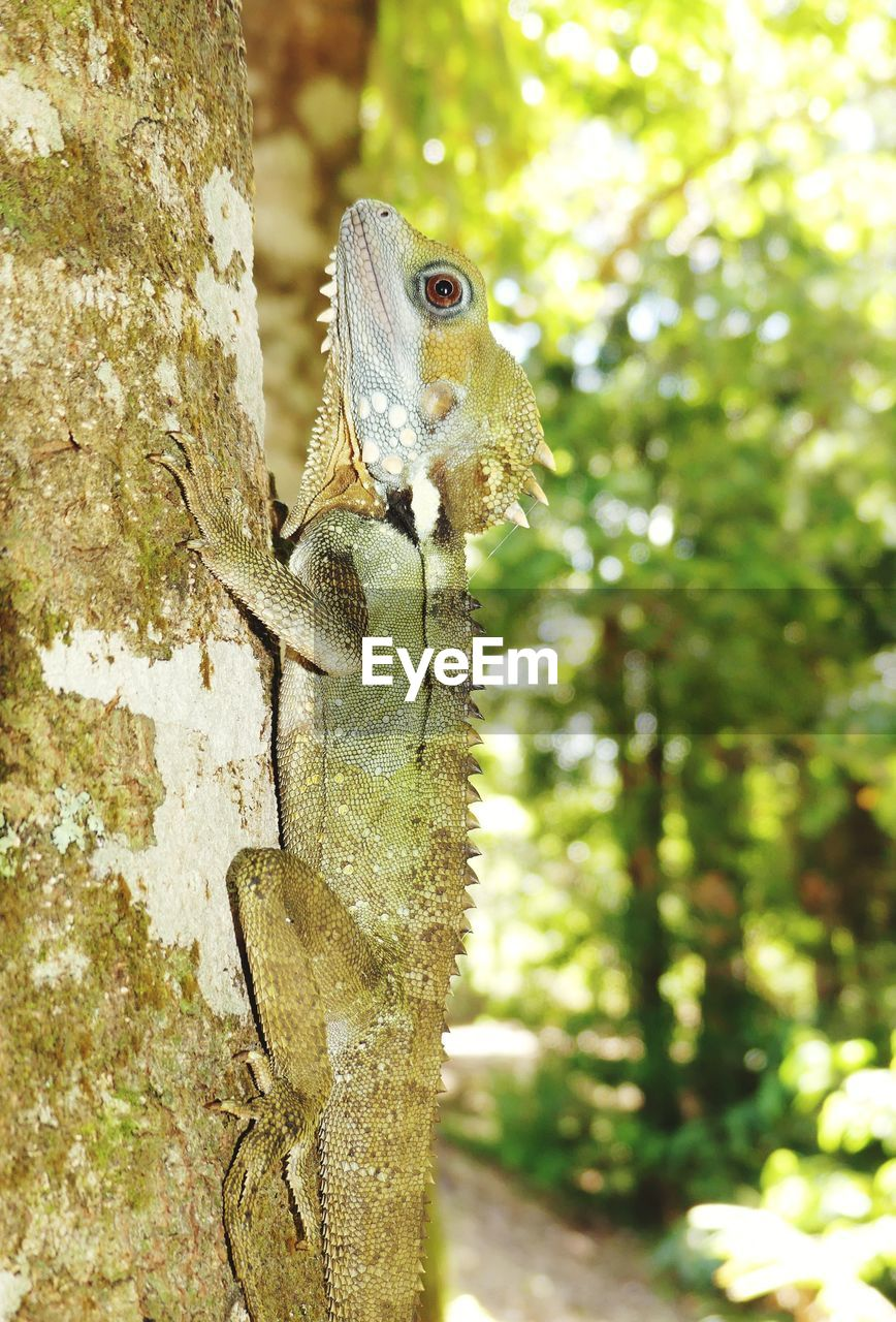 animal themes, animal, tree, animal wildlife, vertebrate, focus on foreground, one animal, animals in the wild, plant, tree trunk, trunk, nature, day, no people, close-up, lizard, reptile, outdoors, sunlight, looking