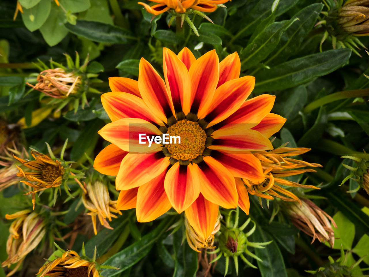 flower, beauty in nature, petal, flower head, nature, freshness, growth, fragility, plant, orange color, leaf, blooming, no people, green color, outdoors, gazania, day, close-up